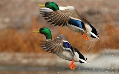 Two Mallards Taking Off ©WallpaperSafari