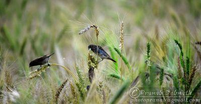Birds in Wheat Field ©WikiC