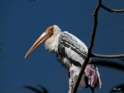 Painted Stork (Mycteria leucocephala) by Lee at Zoo Miami 2014