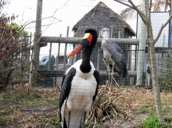 Saddle-billed Stork (Ephippiorhynchus senegalensis) by Lee LPZ