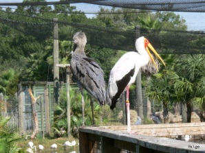 Yellow-billed Stork (Mycteria ibis) and Shoebill