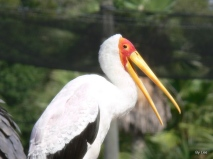Yellow-billed Stork (Mycteria ibis) by Lee LPZ
