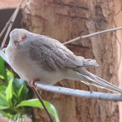 Silver Diamond Dove Female ©MediaCache