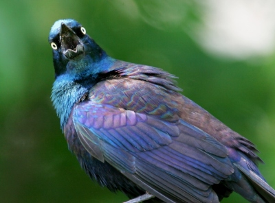 CommonGrackle.BillHubick-photo