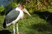 Marabou Stork LP Zoo by Lee