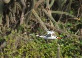 Red-billed Tropicbird (Phaethon aethereus) ©WikiC