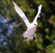 Red-tailed Tropicbird (Phaethon rubricauda) ©WikiC