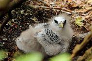 Red-tailed Tropicbird (Phaethon rubricauda) Chick ©WikiC