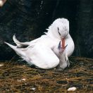 Red-tailed Tropicbird (Phaethon rubricauda) feeding a chick ©WikiC