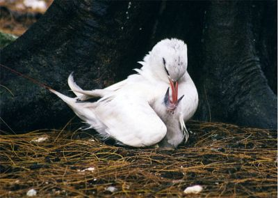 Red-tailed Tropicbird (Phaethon rubricauda) feeding a chick ©WikiC