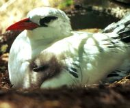 Red-tailed Tropicbird (Phaethon rubricauda) w/chick ©WikiC