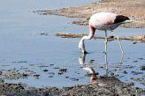 Andean Flamingo (Phoenicoparrus andinus) ©WikiC
