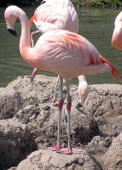 Chilean Flamingo (Phoenicopterus chilensis) ©WikiC