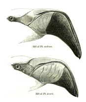 Comparison between Andean and James's Beaks ©WikiC Drawing