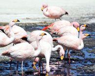 James's Flamingo (Phoenicoparrus jamesi) ©WikiC