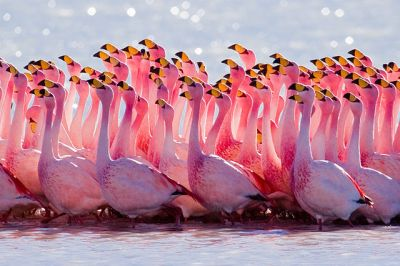 James's Flamingo (<em>Phoenicoparrus jamesi</em>) Mating Ritual ©WikiC