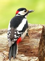 Great Spotted Woodpecker (Dendrocopos major) ©WikiC
