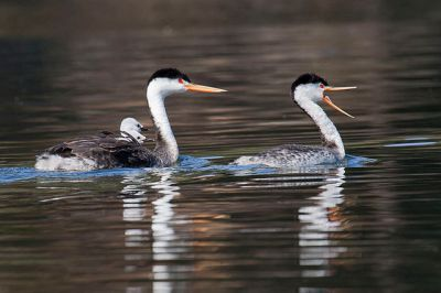 Clark's Grebe (<em>Aechmophorus clarkii</em>) with chicks ©WikiC