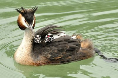Great Crested Grebe (Podiceps cristatus) with young ©WikiC