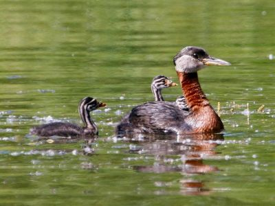 Red-necked Grebe (Podiceps grisegena) with young ©WikiC