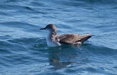 Balearic Shearwater (Puffinus mauretanicus) ©©Flickr