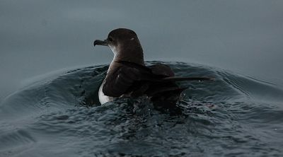 Black-vented Shearwater (Puffinus opisthomelas) ©WikiC