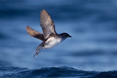Common Diving Petrel (Pelecanoides urinatrix) ©WikiC