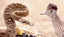 Dueling with a Diamondback in the Desert:   Roadrunner vs. Rattlesnake!
