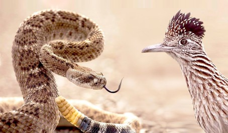 Rattlesnake-attacks-Roadrunner.Natl-Geo-youtube-pic