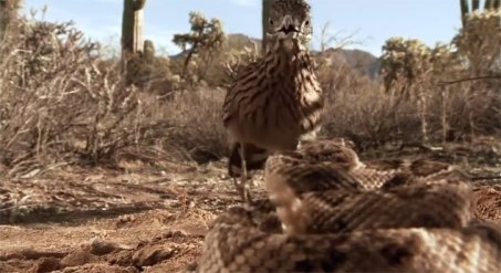 Roadrunner-approaches-coiled-Rattlesnake-in-desert