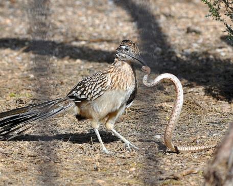 Roadrunner-bites-Rattlesnake.Pinterest