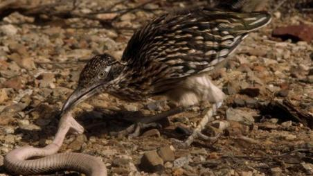 Roadrunner-biting-smashing-Rattlesnake-head