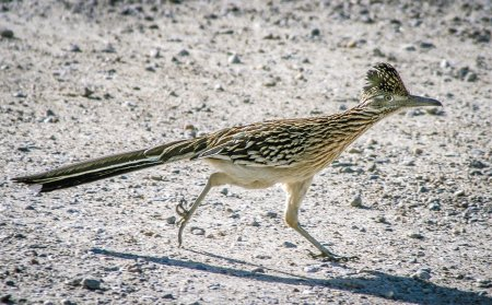 Roadrunner-in-desert.SanDiegoUnionTribune.jpg