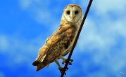 American Barn Owl (Tyto furcata) ©Frutos Atrativos do Cerrado