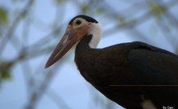 Birds of the Bible – Deuteronomy 14:16-18 II(WYC)