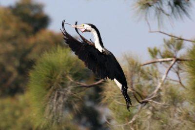 Pied Cormorant leading singing by Aussiebirder at https://aussiebirder.com/