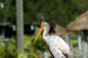 Yellow-billed Stork LP Zoo by Lee