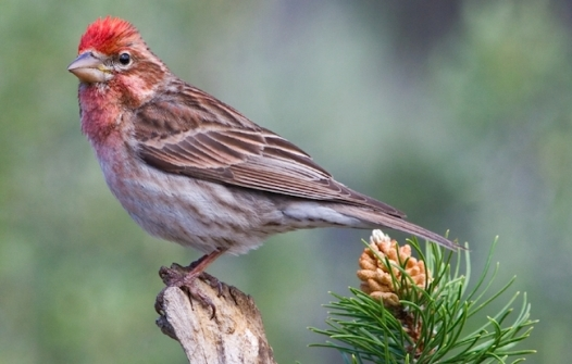 CassinsFinch-male.BirdwatchersDigest