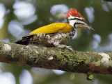 Common Flameback-Mike Birder-MalaysianBirdingBlog