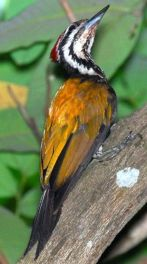 CommonFlameback.woodpecker-Wikipedia