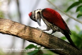 Crimson-backed Flameback-©SamindaDeSilva-Flickr