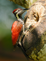 Crimson-backed Flameback-SriLanka-endemic