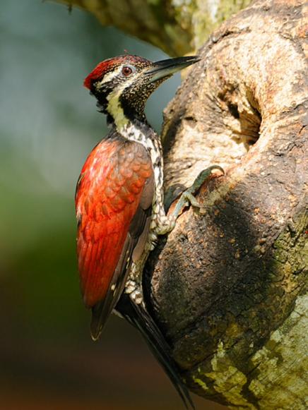 CrimsonbackedFlameback-SriLanka-endemic