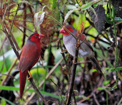 CrimsonFinches-breedingpair-Australia.Wikipedia