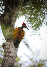 GREATER FLAMEBACK in India (photo by Titus John, Wikipedia)