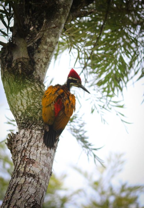 GreaterFlameback.woodpecker-India-Wikipedia