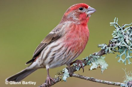 HouseFinch-male.GlennBartley-WichitaStateU-pic
