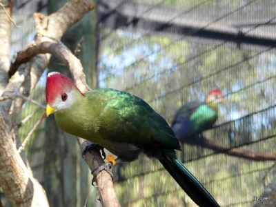 Red-crested Turaco at Brevard Zoo by Lee