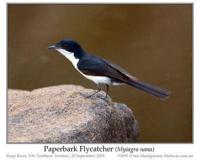 Paperbark Flycatcher (Myiagra nana) by Ian