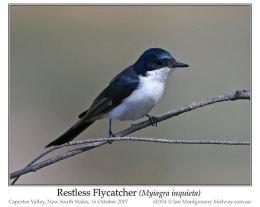 Bird of the Moment ~ RestlessFlycatcher